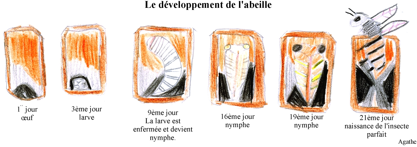 le d veloppement de l 39 abeille dessin d 39 agathe cliquez. Black Bedroom Furniture Sets. Home Design Ideas